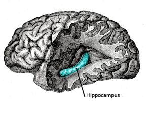 Гиппокампуc